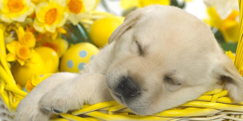 Značilnosti psa in psičke, rojena v znamenju raka.