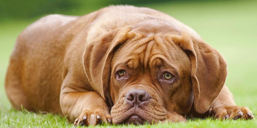 Preverite značilnosti psa in psičke, ki sta rojena v znamenju device.