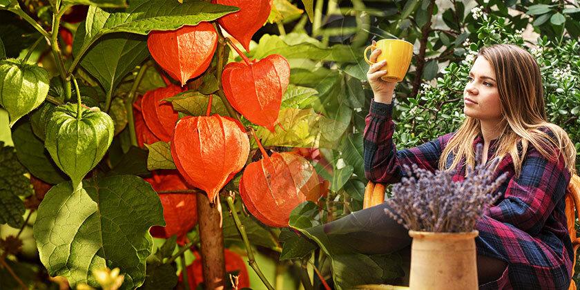 Lampijonček ali volčje jabolko (Physalis alkekengi), ga poznate?